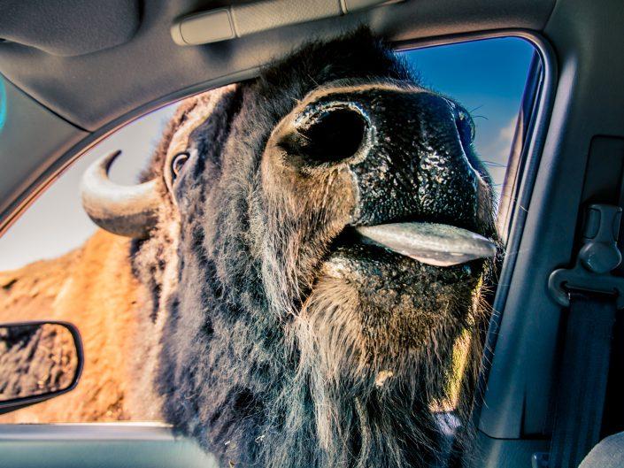 Bison puts head in car